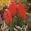 Hyacinths_hyacinthus_orientalis_var._jan_bos-1.thumb