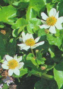 All_plants_caltha_palustris_alba-1.full
