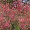 Coral Bells, 'Chatterbox'