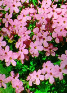 Phlox, Creeping 'Pink Ridge'