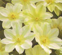 Clematis, Large-Flowered 'Guernsey Cream'