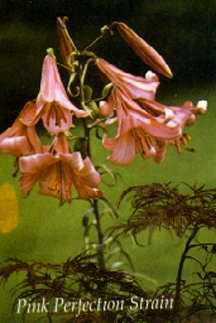 Lilies_lilium_pink_perfection-2.full