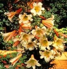 Lilies_lilium_regale-1.full