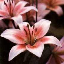 Lily, Asiatic 'Plum Crazy'