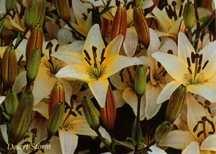 Lilies_lilium_desert_storm-1.full