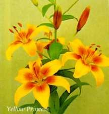 Lilies_lilium_yellow_princess-1.full