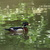 Wood_duck.small