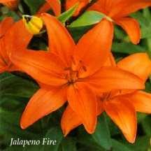 Lilies_lilium_jalapeno_fire-1.full