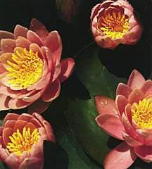 Hardy_water_lilies_nymphaea_pink_beauty-1.medium.full