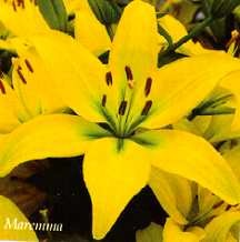 Lilies_lilium_maremma-1.full