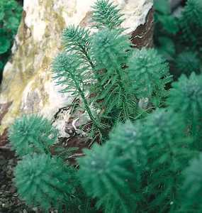 Hardy_bog_plants_myriophyllum_aquatica-1.medium.full