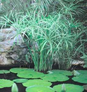 Hardy_bog_plants_cyperus_alternifolius-1.medium.detail