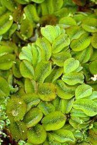 Water_plants_salvinia_rotundifolia-1.medium.full