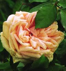 Rose, Antique Tea 'Adam' (1838)