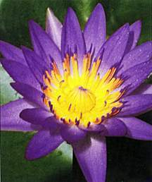 Tropical_water_lilies_nymphaea_director_moore-1.medium.detail
