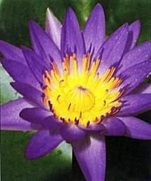Tropical_water_lilies_nymphaea_director_moore-1.medium.full