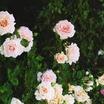 Rose, Antique Early Hybrid Tea 'Antoine Rivoire' (1895)