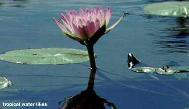 Tropical-water-lily.detail