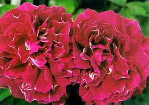 Rose, Antique Hybrid Perpetual 'Baron Girod de L'Ain' (1897)