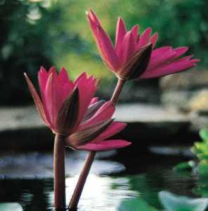 Tropical_water_lilies_nymphaea_red_flare-1.medium.detail