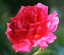 Rose, Found Antique 'Carnation'