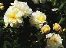 Rose, Antique Hybrid Musk 'Danae' (1913)