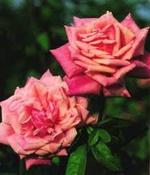 Rose, Antique Tea 'Dr. Grill' (1886)
