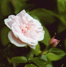 Rose, Antique Climbing 'Dr. W. Van Fleet' (1910)