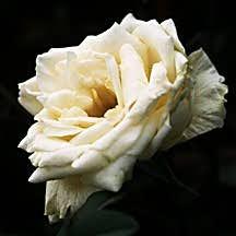 Rose, Antique China 'Ducher' (1869)