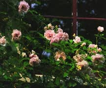 Rose, Antique Hybrid Musk 'Felicia' (1928)