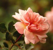 Rose, Antique Climbing 'Francois Juranville' (1906)