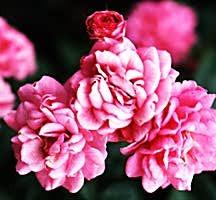 Rose, Antique Polyantha 'Gabrielle Privat' (1931)