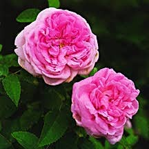 Rose, Old European Antique Damask 'Gloire de Guilan' (1949)