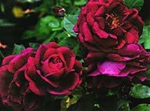 Rose, Hybrid Perpetual 'Granny Grimmetts' (1955)