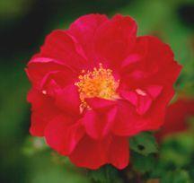 Rose, Polyantha 'John Franklin' (1980)