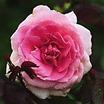 Modern_roses_rosa_landmark_rose-1.thumb