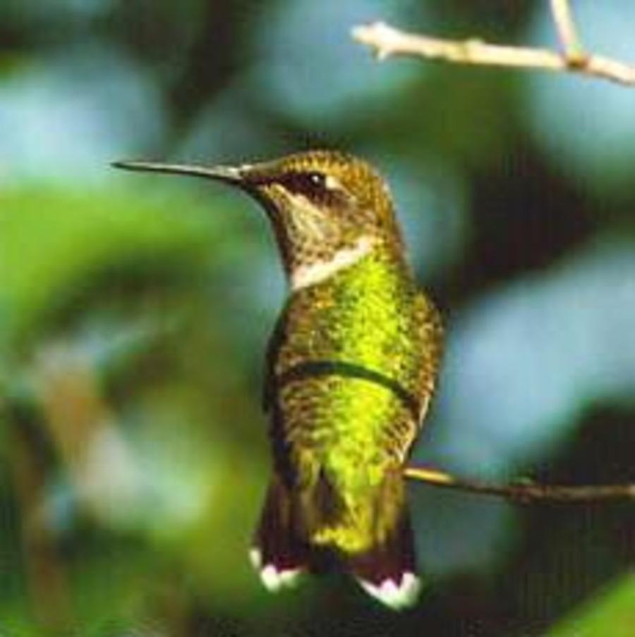 Hummingbird.full