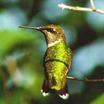 Hummingbird.thumb