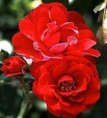 Rose, Floribunda 'Lichterloh' (1955)