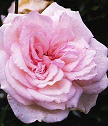 Rose, Found Antique 'Odee Pink'