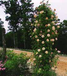 Rose, Antique Polyantha 'Phyllis Bide' (1923)
