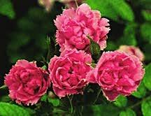 Rose, Antique Rugosa 'Pink Grootendorst' (1923)