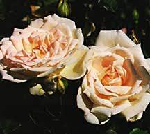 Rose, Found Antique 'Puerto Rico'
