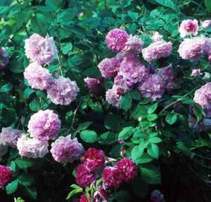 Rose, Climbing Antique 'Russelliana' (Prior to 1873)