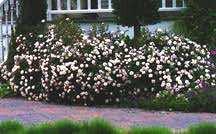 Rose, Antique Polyantha 'White Pet' (1879)