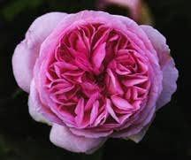 Rose, Antique Bourbon 'Madame Ernest Calvat' (1888)