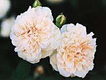 Rose, Antique Old European Alba 'Madame Plantier' (1835)