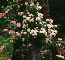 Rose, Antique Hybrid Musk 'Moonlight' (1913)