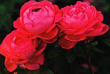 Rose, Found Antique 'Moroccan Rose'