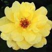 Hybrid_teas_rosa_mrs._pierre_s._du_pont-1.thumb